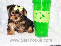Visit our website www.StarYorkie.com now to see