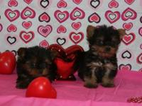 Tiny teacup Yorkies, 9 weeks old, three males left,