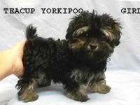 Teddy bear face, Teacup Yorkipoo female. Teacup