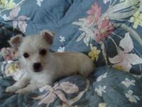 Tiny Teacup Male Mal-Chi (Maltese-Chihuahua). Home