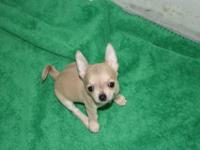 Tiny, Tiny Fawn Male AKC Chihuahua young puppy.