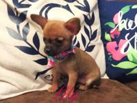 I have two registered Chihuahua puppies. Will be very