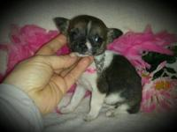 "I have 2 really tiny"" teacup size"" Chihuahua puppies"