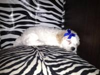 I have TWO of the cutest little maltipoo puppies. These