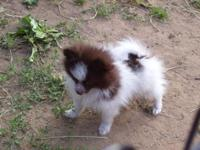 Tiny Tiny Pomeranian girls, 3 months old, CKC, UTD on