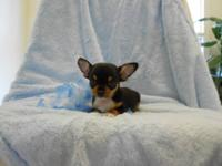 Teacup, Short Coat, Chihuahua male. Tri color: black,
