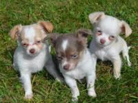 Pups come with 1st shot/worming, puppy info packet,
