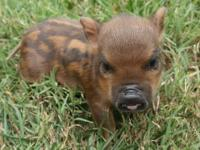 This litter of piggies are tiny and amazingly