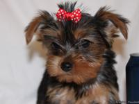 Tiny Toy AKC Yorkie puppies - $950 and up. They are UTD