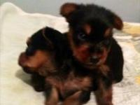 We have two adorable Purebred Yorkie puppies available.