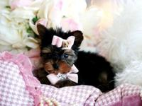 Come and pick out your Yorkie puppy. We have toy and