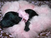Tiny-Toy & Toy Poodles AKC Registered
