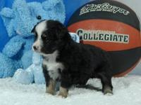 Tiny Toy Black Tri Male Australian Shepherd S/S. This