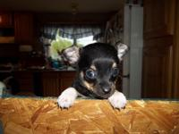 I have a adorable toy chihuahua puppy available..He is