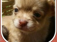 I have 5 super tiny Chihuahua puppies! the 2 females i