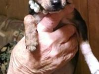 Tiny toy chihuahua pups, 5 months $175  Whitsett, North
