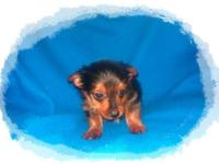 Tiny Toy Chorkie Puppy. Male, 8 weeks aged. Need to