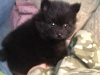 AKC toy pomeranian puppies for sale. 1 female left!!!