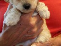 TOY POODLE FEMALE PUPPIES & MOTHER ALL 500.0 EACH!!