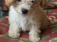 TOY POODLE FEMALE PUPPIEY 500.0 , LIGHT APRICOT/WHITE.