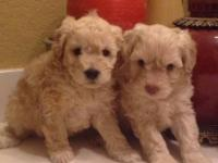 9 wks tiny toy old fluffy Maltese x shih tzu mix. Both