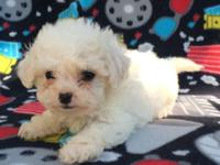 Tiny toy maltipoo poo will be4 pounds or less grown