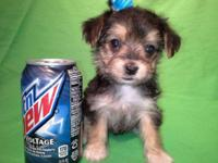 """ MOLLY ""...Tiny toy morkie female!! UCKI registered"