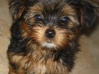 M/F 8 wks old.Shots vets health cert.CKC reg papers. If