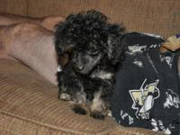 I have a tiny toy male phantom black and brown poodle.