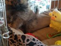 9 week old toy pomeranian, gorgeous red sable male,