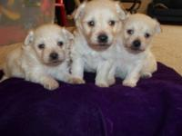 Adorable White Toy Pompoo Pups. Homeraised with Kids,