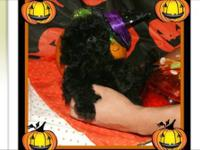 I have just one tiny toy poodle baby available. He is