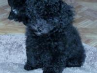Beautiful Toy Poodles, Championship line, raised in the