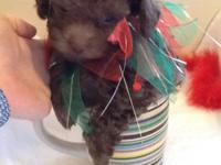 Adorable chocolate teeny toy poodle. He is 8 weeks old