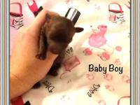 Little chocolate tiny toy poodle was born on September