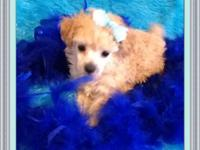 Marley is a gorgeous tiny toy poodle. His parents are 4