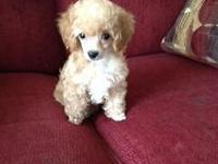 Purebred Tiny Toy Poodle pup,PICK OF LITTER, gorgeous