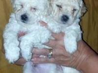 "TINY TOY POODLE PUPPIES FOR SALE $600.00 ""VERY TINY"