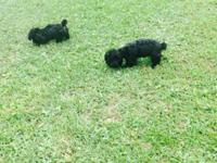 Two small toy male poodle puppies. Tails docked and