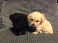 Gorgeous tiny toy poodle puppies in a variety of