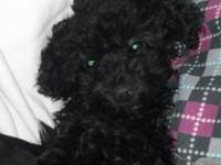 I have a tiny toy poodle puppy for sale. Hes been