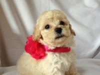 Gorgeous Tiny Toy Poodle Puppy AKC registered - Apricot