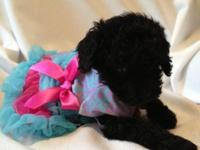 Tiny little toy poodle female - black and AKC