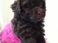 Tiny Toy Chocolate female AKC registered poodle puppy -