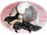 Descripción I have a litter of Tiny Toy Poodle Pups!2