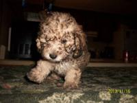 Two male toy poodle babies. $400.00 each.. One is dark