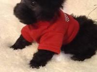 This is gorgeous tiny toy poodle. He ready for his