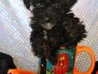 Adorable tiny toy black male poodle; parents 3 and 4