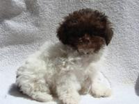 Real Tiny Toy Poodles or Teacup Poodles Cute and