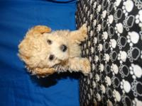 Three beautiful AKC tiny toy poodles 1 female, and two